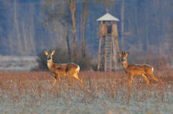 Roe deer in winter Stock Photography