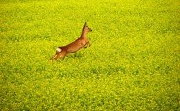 Roe deer in yellow field. A roe deer jumping running away in a yellow rape/colza field, summertime in Sweden stock photo