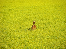 Roe deer in yellow field. A roe deer standing in a yellow rape/colza field evening time in Sweden Stock Photography