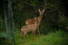 'Roe deer' Stock Images