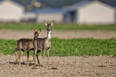 Roe-deer with young in a clearing Royalty Free Stock Photo
