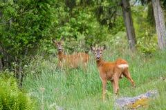 Roe Deers Fotos de Stock