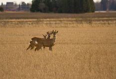 Roe Deers. Two buck standing in the field and looking on me Stock Image
