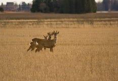 Roe Deers Stock Image