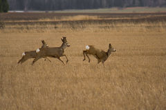 Roe Deers. Deers running from danger there is one buck one doe and last the little kid Royalty Free Stock Photos