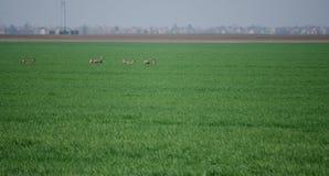 Roe Deers Royalty-vrije Stock Afbeeldingen