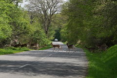 Roe deers crossing the road. Roe deers crossing the road with car at background. Way throw the forest Royalty Free Stock Images