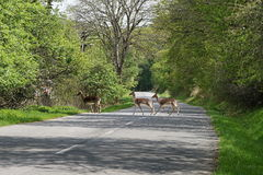Roe deers crossing the road. Way throw the forest Royalty Free Stock Photography