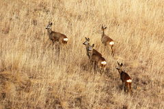 Roe deers in faded grass Royalty Free Stock Image
