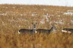 Roe deers in faded winter field Royalty Free Stock Photography