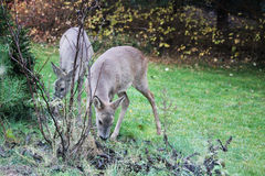Roe-deers feeding in a garden Stock Images