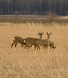 Roe deers in field Stock Photo