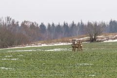 Roe deers at the field Stock Images