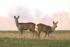 Roe deers in the field. Roe deers in natural habitat Royalty Free Stock Photo