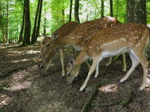 Roe deers in forest Royalty Free Stock Photography