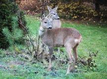 Roe-deers in a garden Stock Images