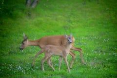 Roe deers in a garden stock image