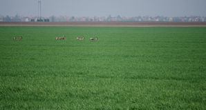 Roe deers Royalty Free Stock Images