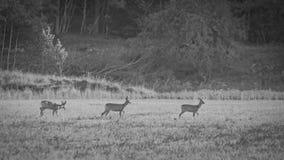 3 roe deers ja n rząd Fotografia Stock