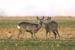 Roe deers kissing. Roe deers in the field Royalty Free Stock Image
