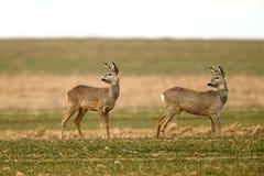 Roe deers on the lookout. Roe deers in natural habitat Royalty Free Stock Photos