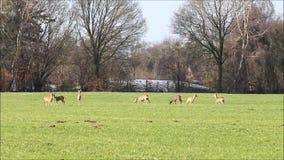 Roe deers in the meadow, wildlife, freedom stock footage