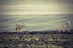 Roe deers on plowed land Royalty Free Stock Photos