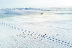 Aerial shot of roe deers running through a snow-covered field of South Moravia, Czech Repiblic stock photos