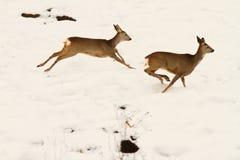 Roe deers running in snow Stock Photos