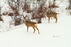 Roe deers in the snow Royalty Free Stock Photos