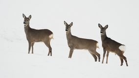 Roe deers in the snowy field Royalty Free Stock Photo