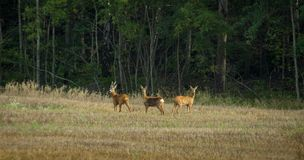 3 roe deers standing on a field Royalty Free Stock Images