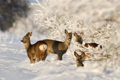 Roe Deers in the sunny winter. Evening Royalty Free Stock Photos