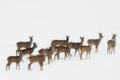 Roe deers on white snow Royalty Free Stock Photography