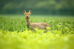 Roe Doe. Deer standing in a field looking at the camera Royalty Free Stock Photo