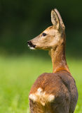 Roe doe. Roe deer under the sun with a green background of trees and clover Stock Photo