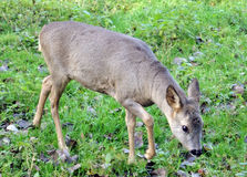 Roe doe Stock Photography