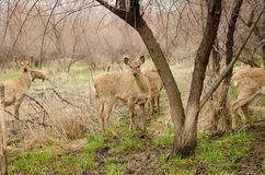 Roe Doe Deer se reposant dans la forêt images stock