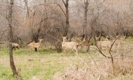Roe Doe Deer se reposant dans la forêt images libres de droits