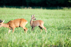 Roe. Doe with fawn on pasture Stock Images