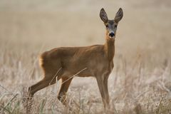 Roe-doe in the field Royalty Free Stock Image