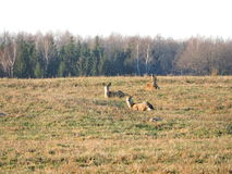 Roe in field, Lithuania Royalty Free Stock Images