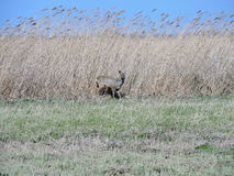 Roe in field, Lithuania Royalty Free Stock Image