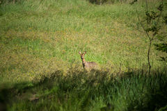 Roe in the Field Royalty Free Stock Photos