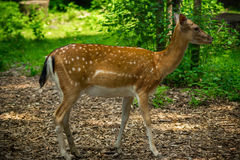Roe in the forest. By day stock images