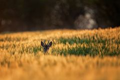 European roe deer, capreolus capreolus. Roe head in the field. Wildlife photography. Day light. Walking in the nature. Roe deer male. Grazing for the roe deer royalty free stock image