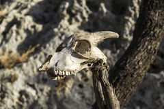 Roe head skull srunged on a stick Royalty Free Stock Photography