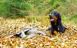 Roe hunting. Still life with hunting dog Royalty Free Stock Photo