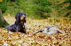 Roe hunting. Still life with hunting dog Stock Image