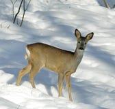 roe jeleni Zdjęcie Stock